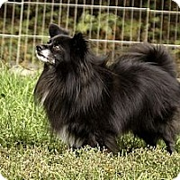 Adopt A Pet :: Buddy - Nine Mile Falls, WA