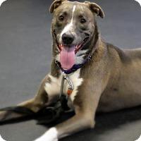Adopt A Pet :: Rf Litter - Sarah (HP) - Livonia, MI