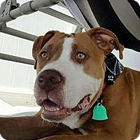 Adopt A Pet :: Gracie Rose - Marlton, NJ