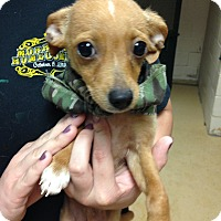 Adopt A Pet :: Chihuahua Puppies - Glastonbury, CT