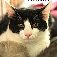 Domestic Shorthair Cat for adoption in Merrifield, Virginia - Mercury