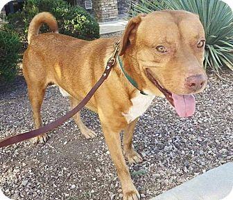 Golden Retriever/Labrador Retriever Mix Dog for adoption in Phoenix, Arizona - Marley