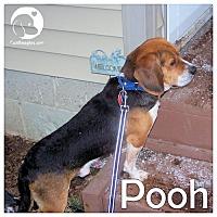 Adopt A Pet :: Pooh - Novi, MI