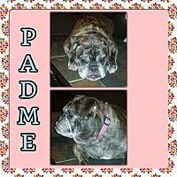Adopt A Pet :: Padme - Verona, NJ