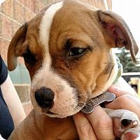 Adopt A Pet :: MInnie- Adopted! - Detroit, MI