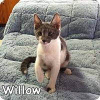 Domestic Shorthair Kitten for adoption in Morgantown, West Virginia - Willow