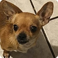 Chihuahua Mix Dog for adoption in Brooksville, Florida - Medea
