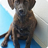 Mountain Cur/Hound (Unknown Type) Mix Dog for adoption in Waterbury, Connecticut - Ranger