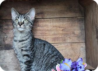 Domestic Shorthair Cat for adoption in Germantown, Maryland - Luna
