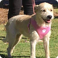 Terrier (Unknown Type, Medium) Mix Dog for adoption in CUMMING, Georgia - Blondie