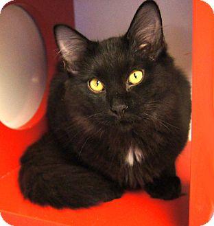 Domestic Mediumhair Cat for adoption in Colorado Springs, Colorado - Simon