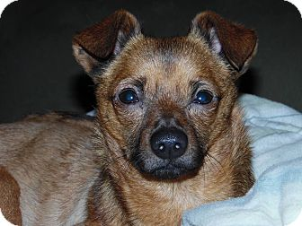Chihuahua Mix Dog for adoption in Santa Maria, California - Franklin