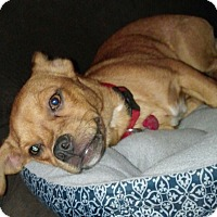 Pug/Chihuahua Mix Puppy for adoption in Springtown, Texas - Odie