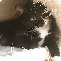 Domestic Shorthair Kitten for adoption in Nashville, Tennessee - Chani