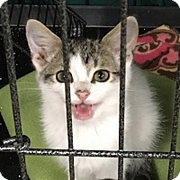 Domestic Shorthair Kitten for adoption in Remus, Michigan - Feline Chevy