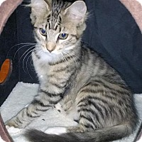 Adopt A Pet :: Most Affectionate Tabby and Tortie kittens Ever! - Brooklyn, NY