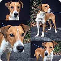 Adopt A Pet :: Barnaby - Danbury, CT
