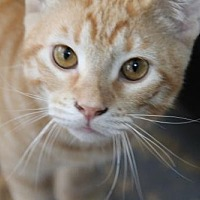 Domestic Shorthair Cat for adoption in Fort Lauderdale, Florida - Moe