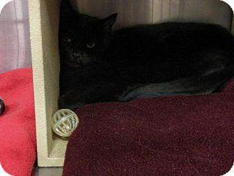 Domestic Shorthair Cat for adoption in Salt Lake City, Utah - Jill