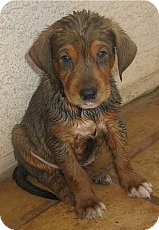 Bloodhound/Border Collie Mix Puppy for adoption in Phoenix, Arizona - Briscoe