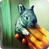 Adopt A Pet :: Gray Baby - Los Angeles, CA