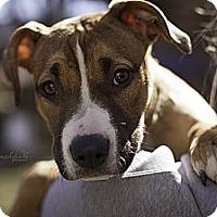 Adopt A Pet :: Nala - Reisterstown, MD