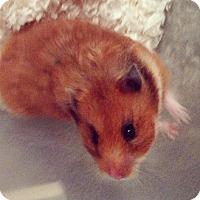 Adopt A Pet :: Cornflake - Bensalem, PA