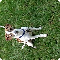 Adopt A Pet :: Milo - Nanuet, NY