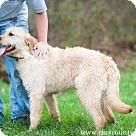 Adopt A Pet :: Wheatin (blonde labradoodle cross)