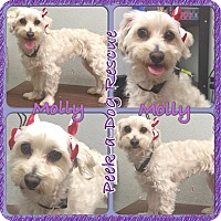 Adopt A Pet :: Molly - South Gate, CA
