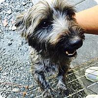 Adopt A Pet :: Beau - Cashiers, NC