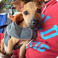 Adopt A Pet :: Rocko - Pittsburgh, PA