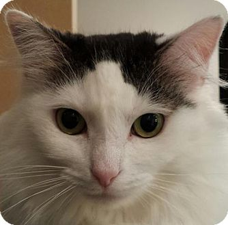 Domestic Longhair Cat for adoption in Knoxville, Tennessee - Bristol