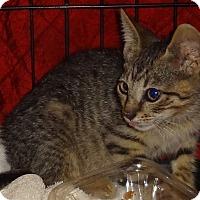 Adopt A Pet :: KITTY CASTLE - RAMBO - New York, NY