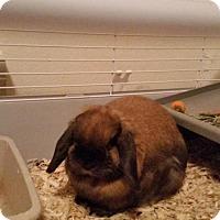 Lop-Eared for adoption in Fargo, North Dakota - Brownie