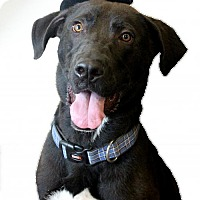 Adopt A Pet :: Duke - Diamond Dog $75 Adoption Fee - Rockwall, TX