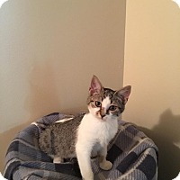 Domestic Shorthair Kitten for adoption in Davison, Michigan - Layla