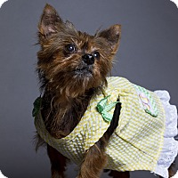 Yorkie, Yorkshire Terrier Dog for adoption in Baton Rouge, Louisiana - Demi