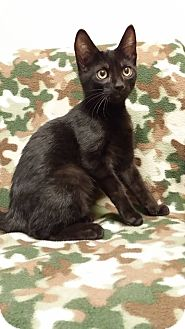 Domestic Shorthair Cat for adoption in Cannelton, Indiana - Jenson