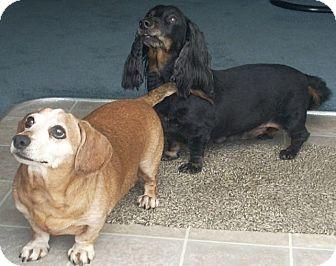 Dachshund Dog for adoption in Portland, Oregon - CODY and GINGER