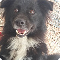 Border Collie Mix Dog for adoption in Anderson, South Carolina - Bear