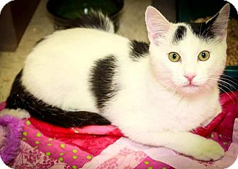 Domestic Shorthair Kitten for adoption in Trevose, Pennsylvania - Scooter
