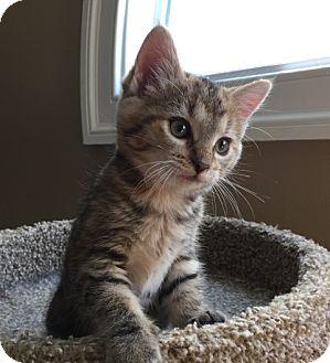 Domestic Shorthair Kitten for adoption in Herndon, Virginia - Ginevra