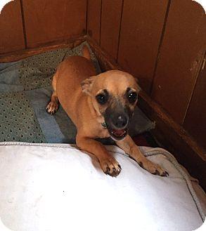 Chihuahua Mix Puppy for adoption in Savannah, Georgia - Hermine