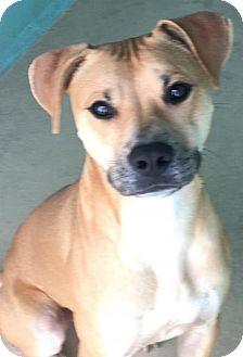 Labrador Retriever Mix Dog for adoption in Manteo, North Carolina - Zach