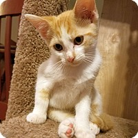 Domestic Shorthair Kitten for adoption in Knoxville, Tennessee - Starburst