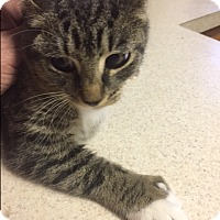 Adopt A Pet :: Toes - Forest Hills, NY