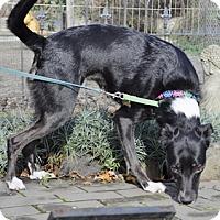 Adopt A Pet :: Amber - Woodburn, OR