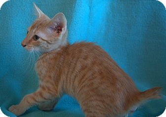 Manx Kitten for adoption in Staunton, Virginia - Bogart