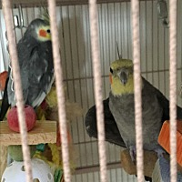 Adopt A Pet :: Flock of 5 Cockatiels & 1 Keet - Punta Gorda, FL